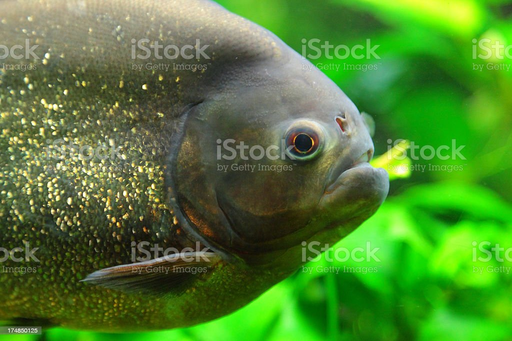 Piranha royalty-free stock photo