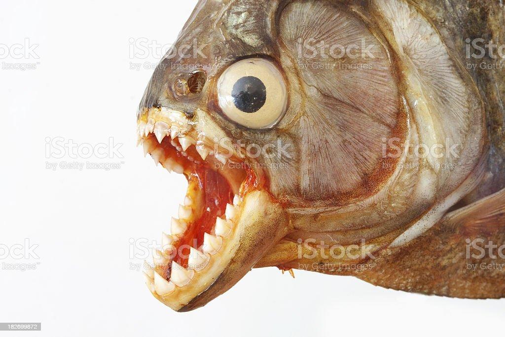 Piranha stock photo