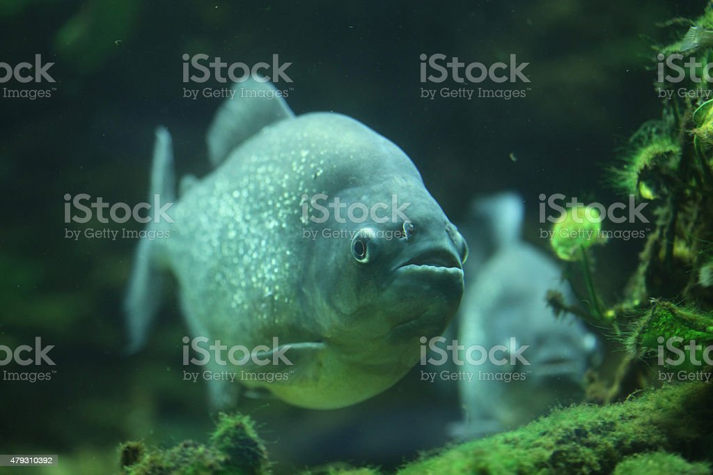 Piranha (Pygocentrus piraya) stock photo