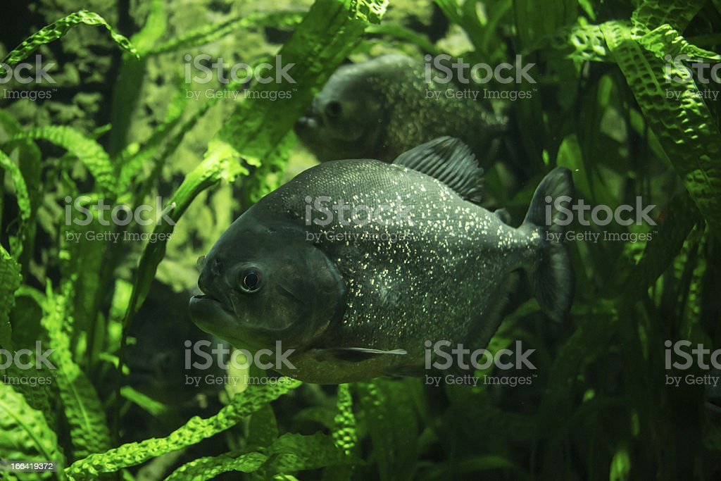 Piranha underwater royalty-free stock photo