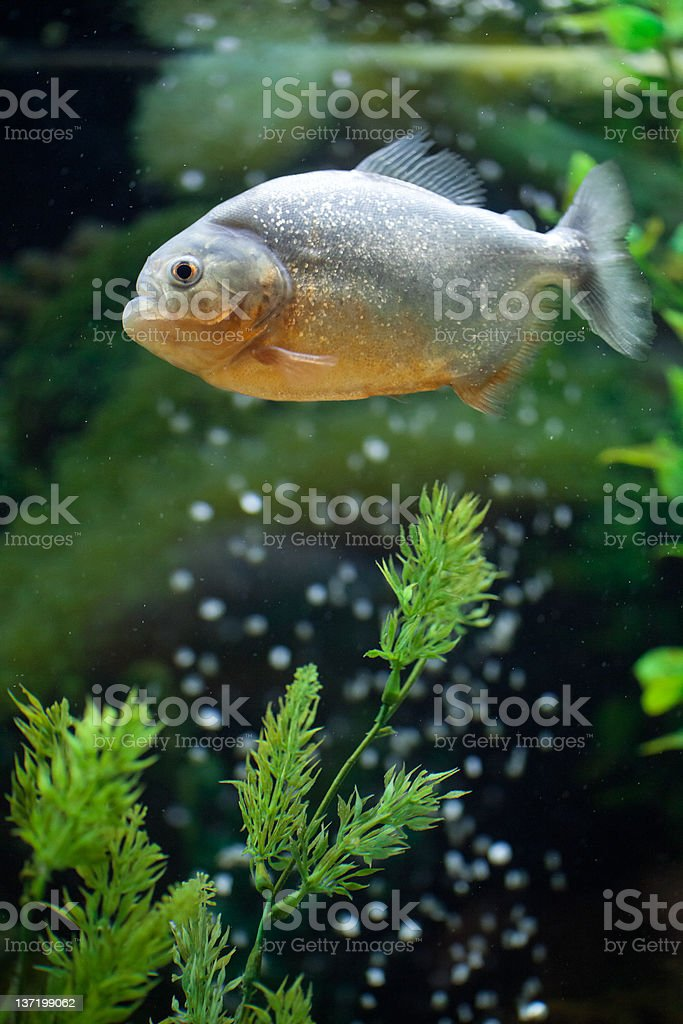 piranha usual stock photo