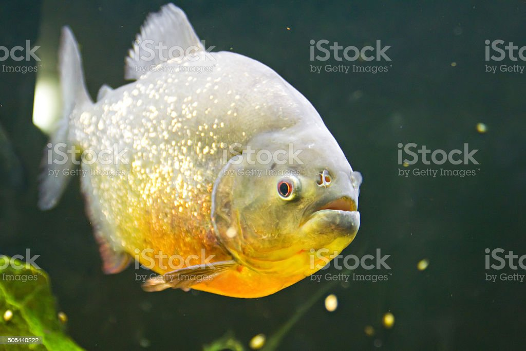 Piranha waiting for the meat stock photo