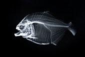 Piranha x-ray of animal skeleton