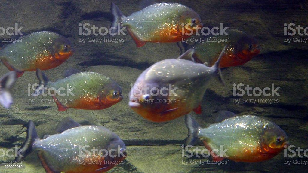 Piranhas closeup stock photo