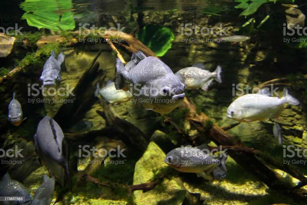 Piranhas stock photo