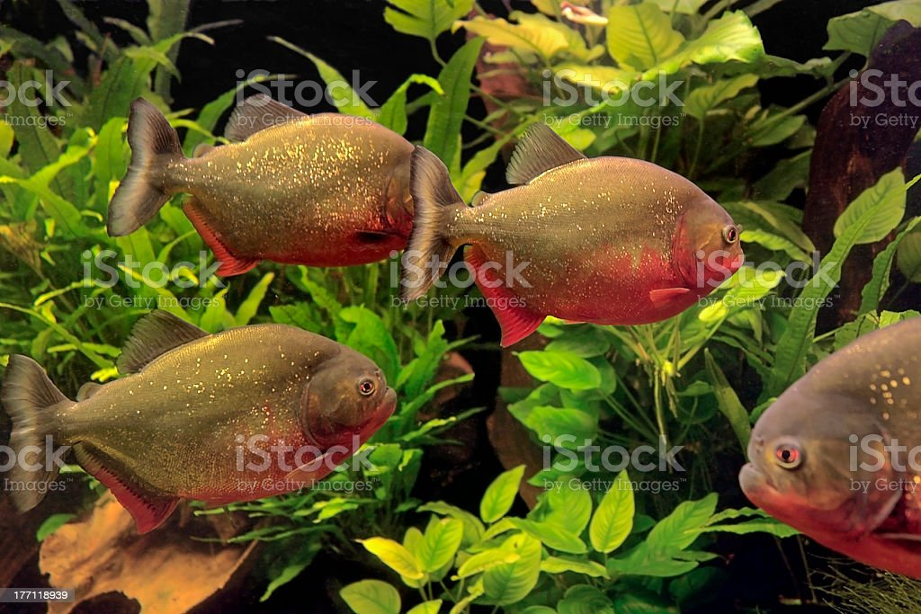 Piranhas royalty-free stock photo
