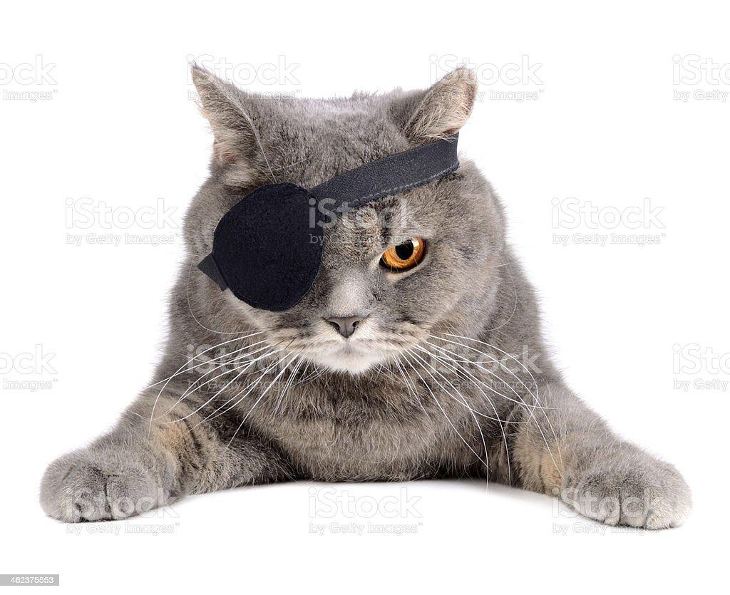 Pirate cat stock photo