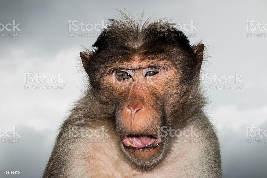 Pirate Monkey stock photo