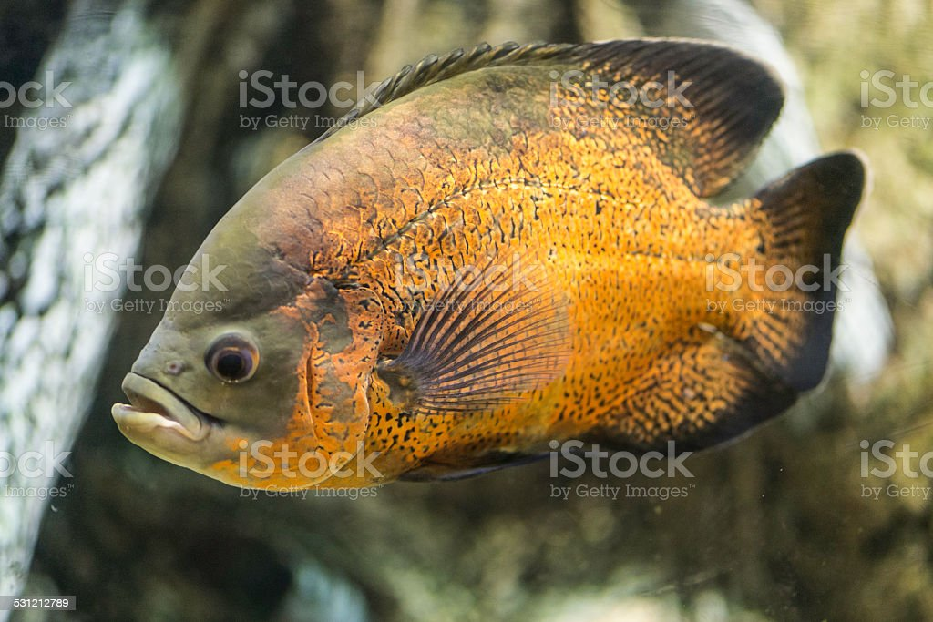 Piraya Piranha stock photo