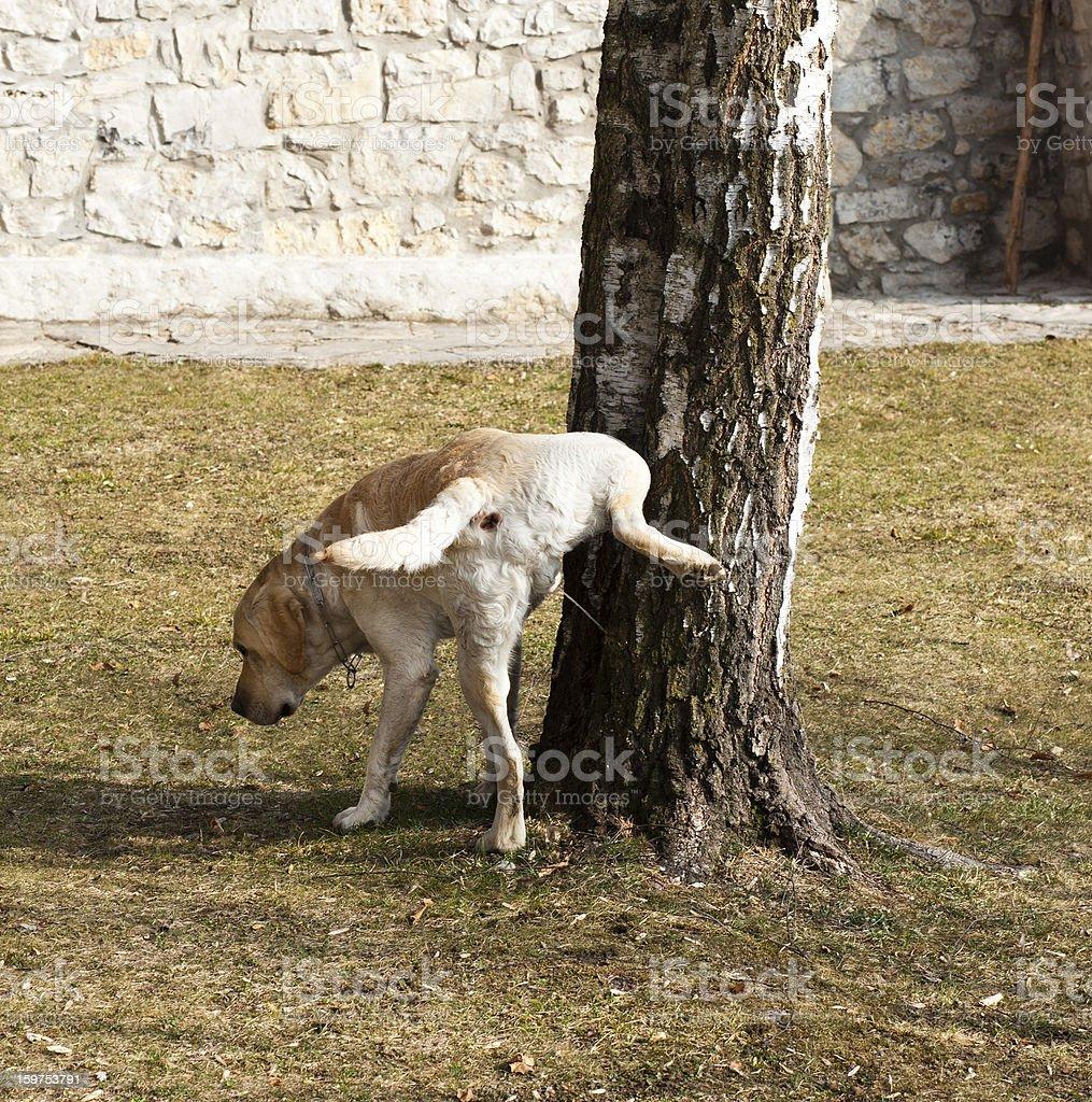 Pissing Dog stock photo