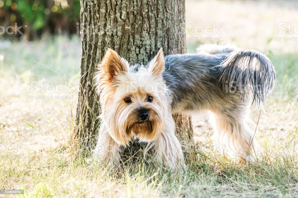 Pissing on the tree dog Yorkshire terrier in the park at summer day stock photo