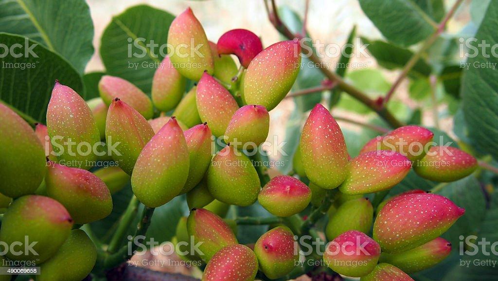 Pistachio in Tree stock photo