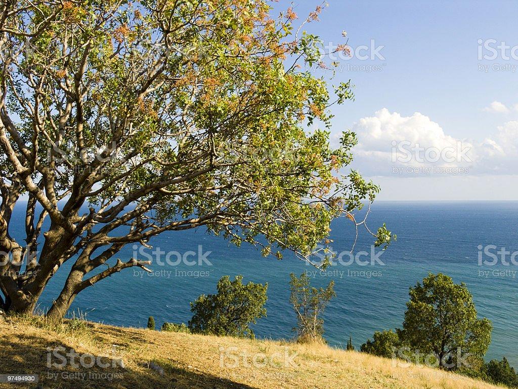 Pistachio tree stock photo