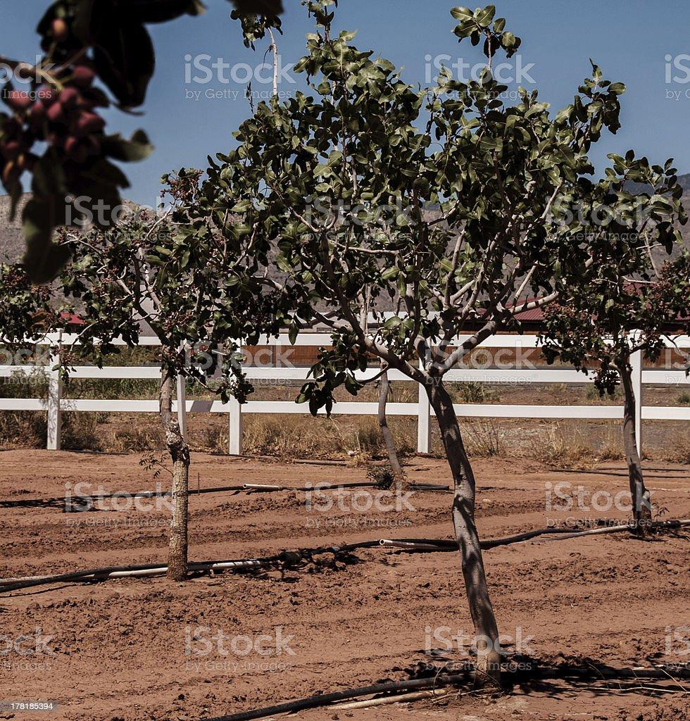 Pistachio Trees in New Mexico stock photo