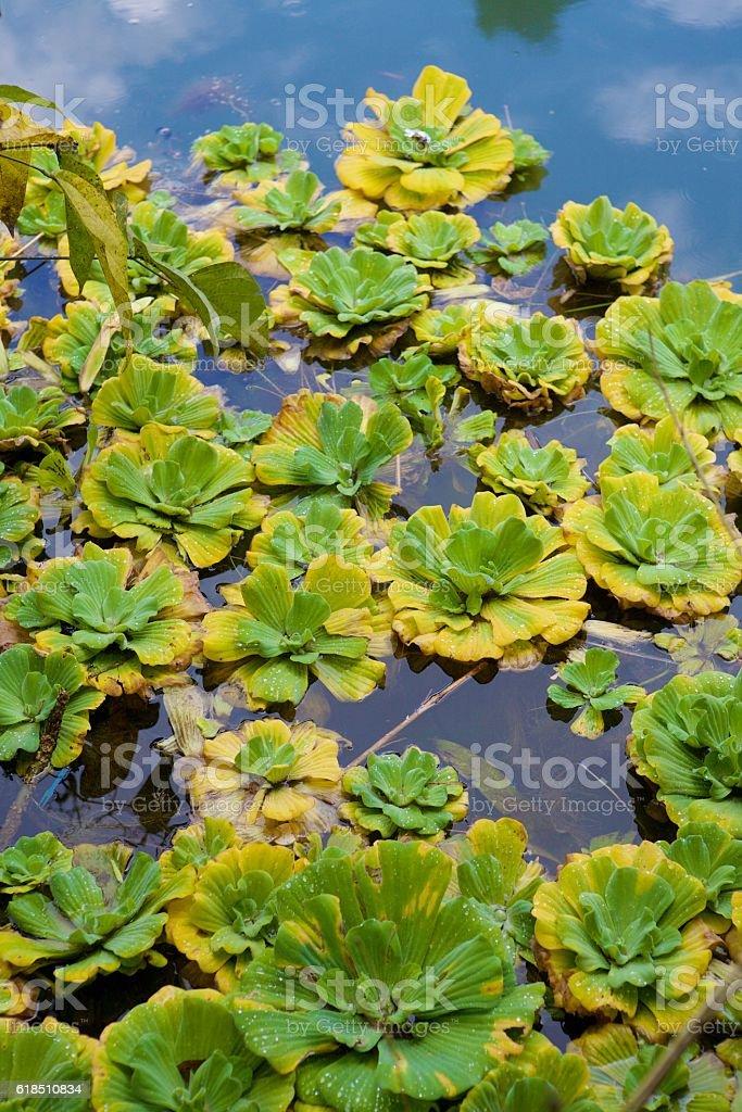Pistia yellow green stock photo