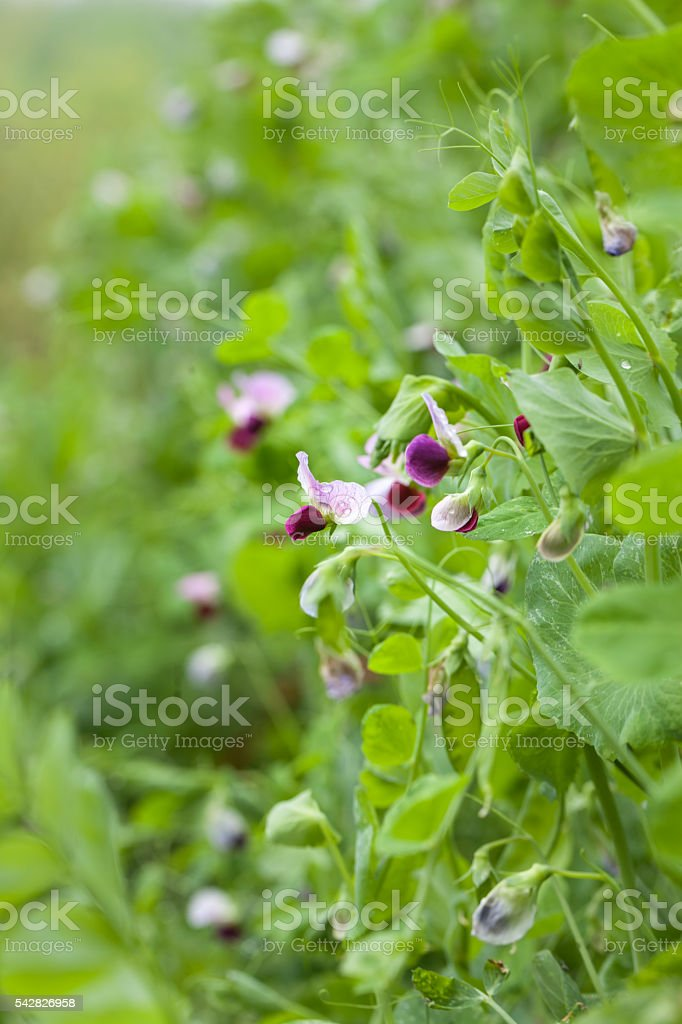 pisum blooming in spring stock photo