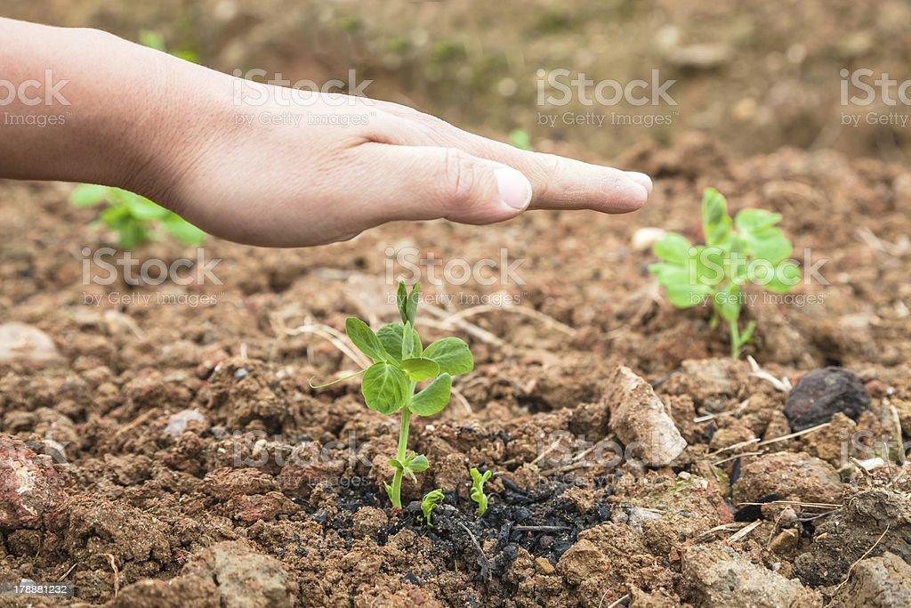 pisum sapling stock photo