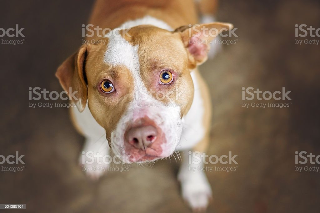 Pit Bull Dog stock photo