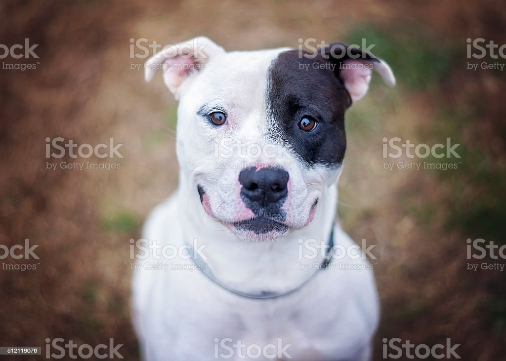 Pit Bull Mix Dog stock photo