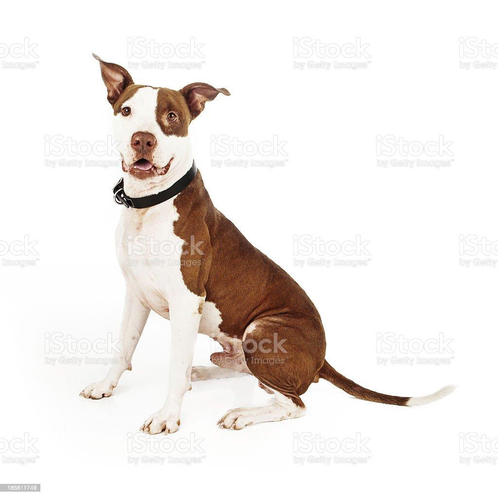 Pit Bull Mixed Breed Dog Happy royalty-free stock photo