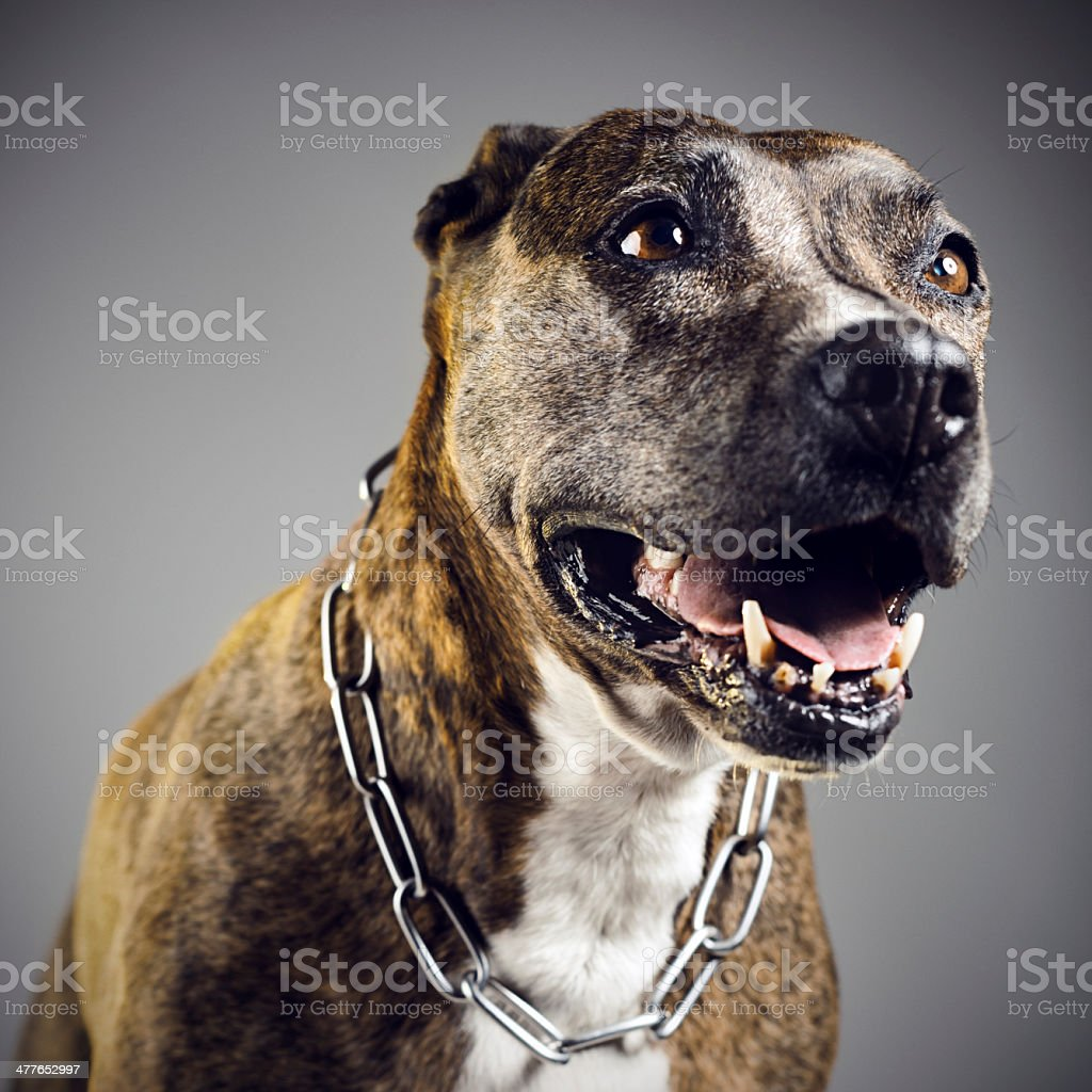 Pit bull portrait stock photo