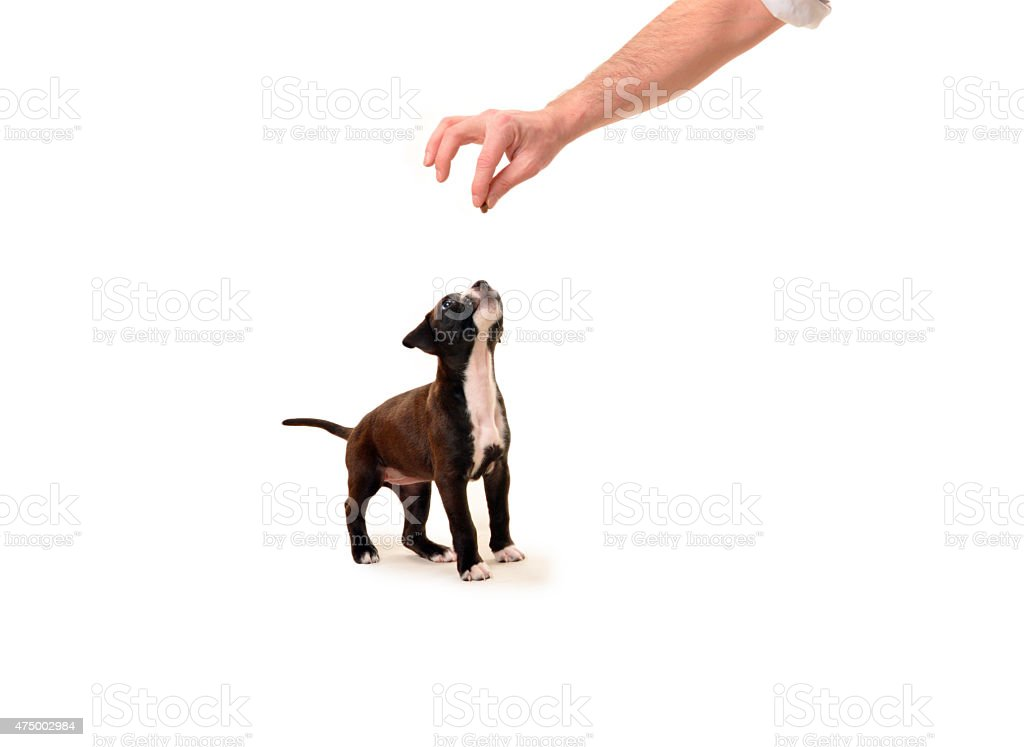 Pit bull puppy waiting for a treat stock photo