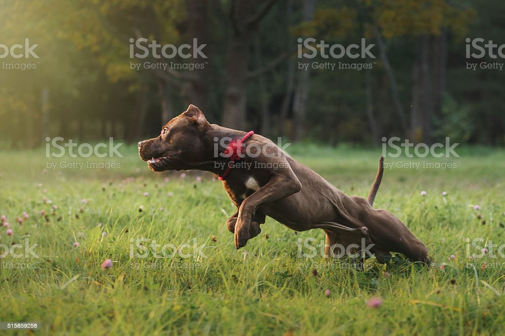 Pit bull terrier dog in the park stock photo