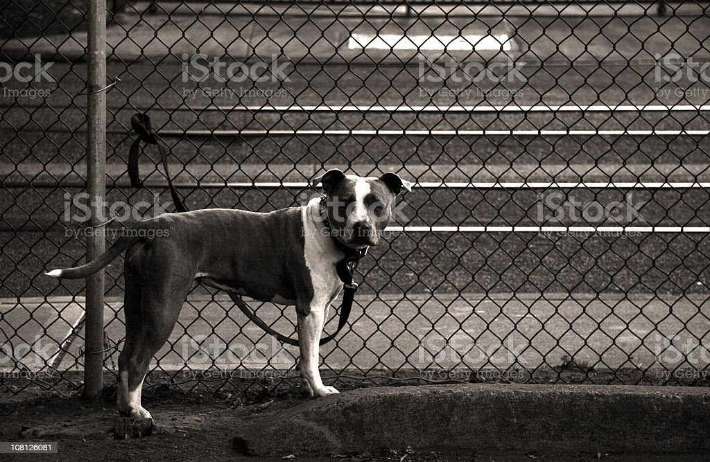 Pit Bull Tied to Fence, Black and White royalty-free stock photo