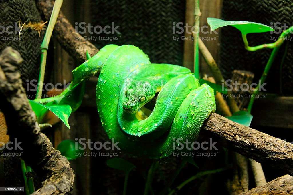 Pit Viper with water drops on royalty-free stock photo