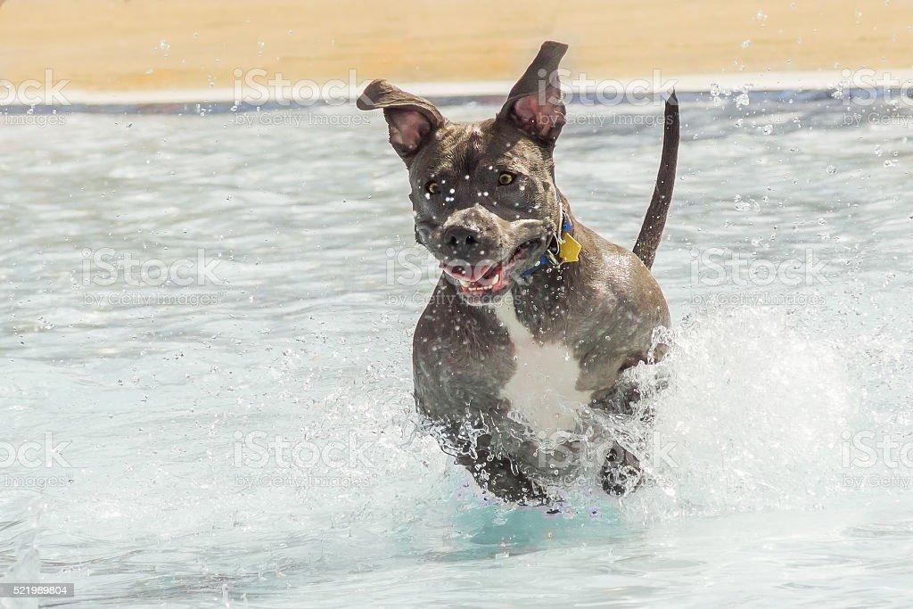Pitbul Running In the Water stock photo