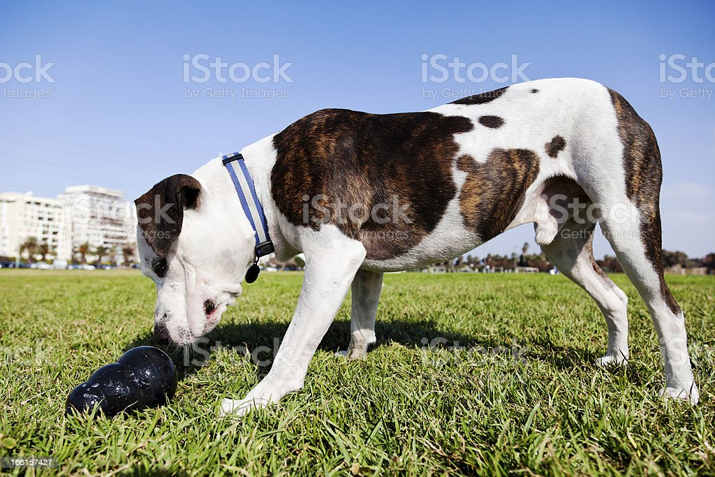 Pitbull Dog with Chew Toy at the Park royalty-free stock photo