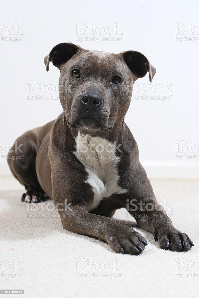 Pitbull looking up stock photo