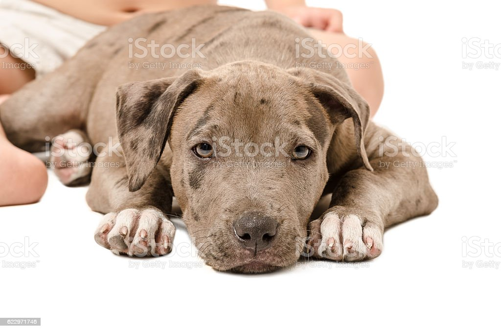 Pitbull puppy lying at the feet of the child stock photo