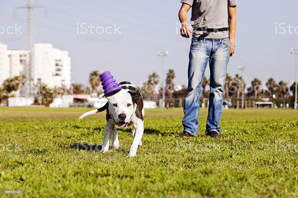 Pitbull Running after Dog Chew Toy royalty-free stock photo