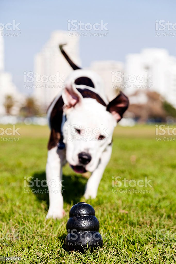 Pitbull Running to Dog Toy on Park Grass royalty-free stock photo