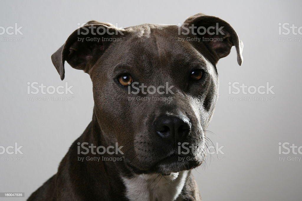 Pitbull terrier stock photo