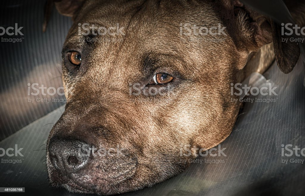 Pitbull with elizabethan collar stock photo