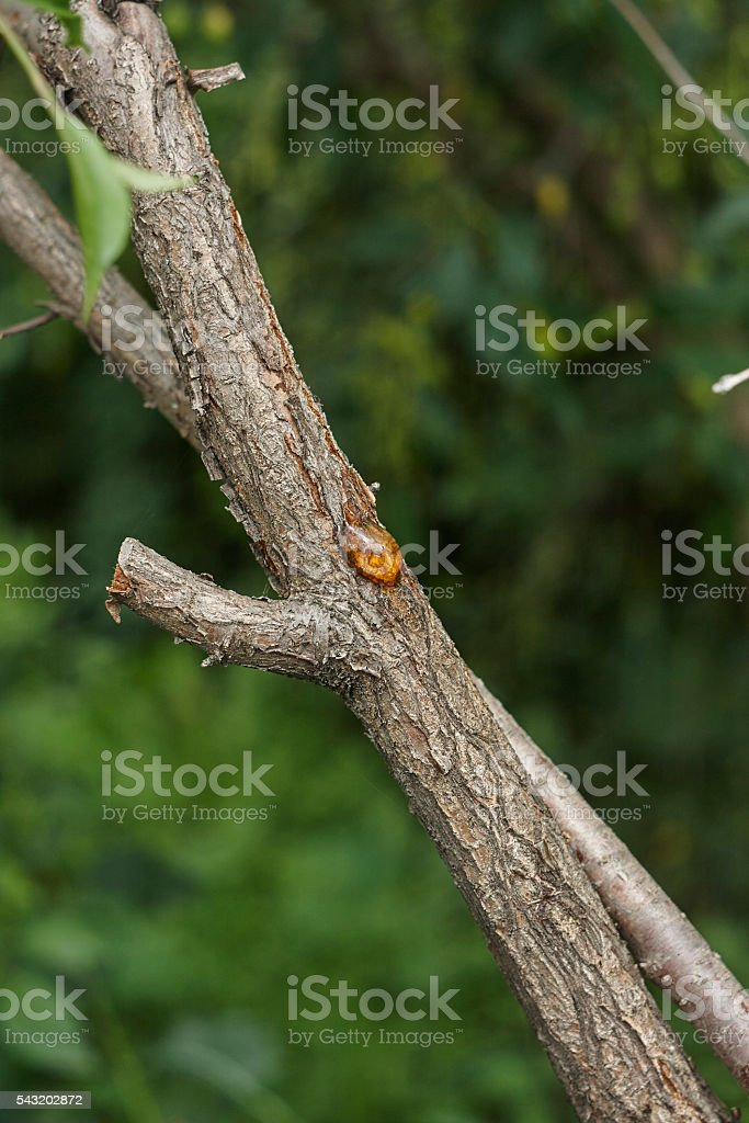 pitch tar  blister on cherry tree trunk close up stock photo