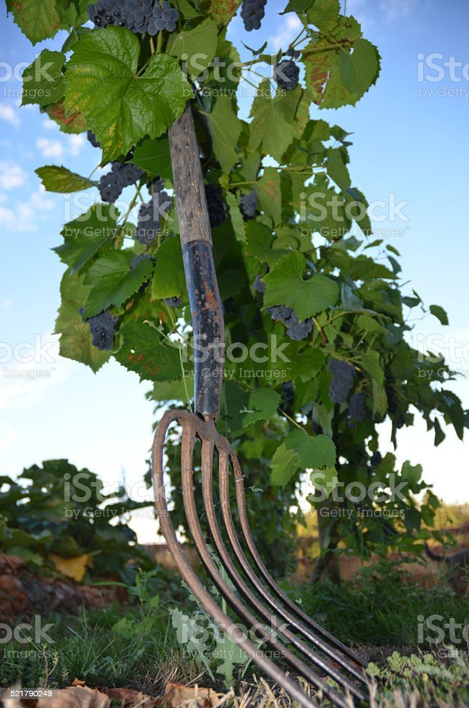 Pitchfork Leaning on Grape Arbour royalty-free stock photo