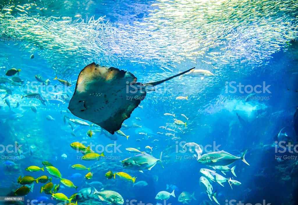 Pitted stingray in front of fish school stock photo