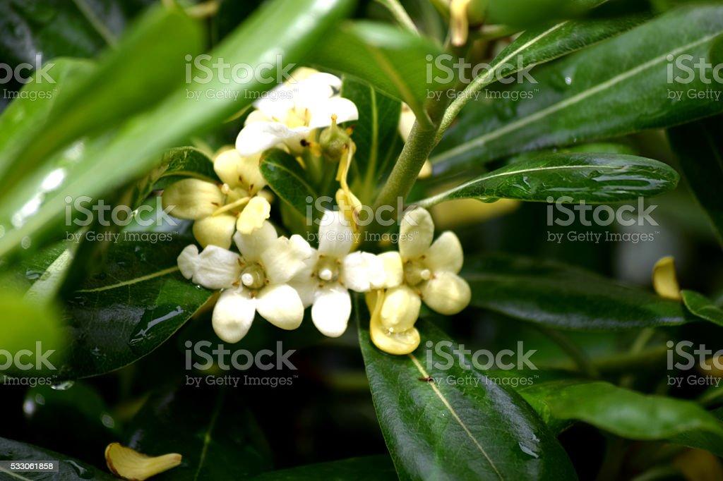 Pittosporum flowers stock photo