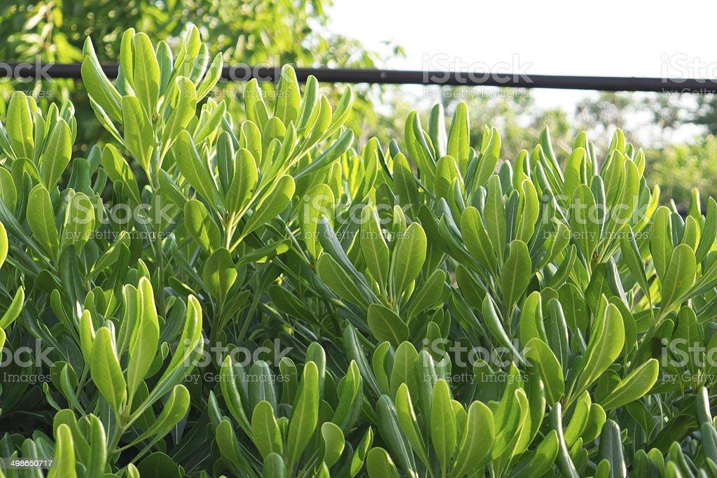 Pittosporum plant. stock photo