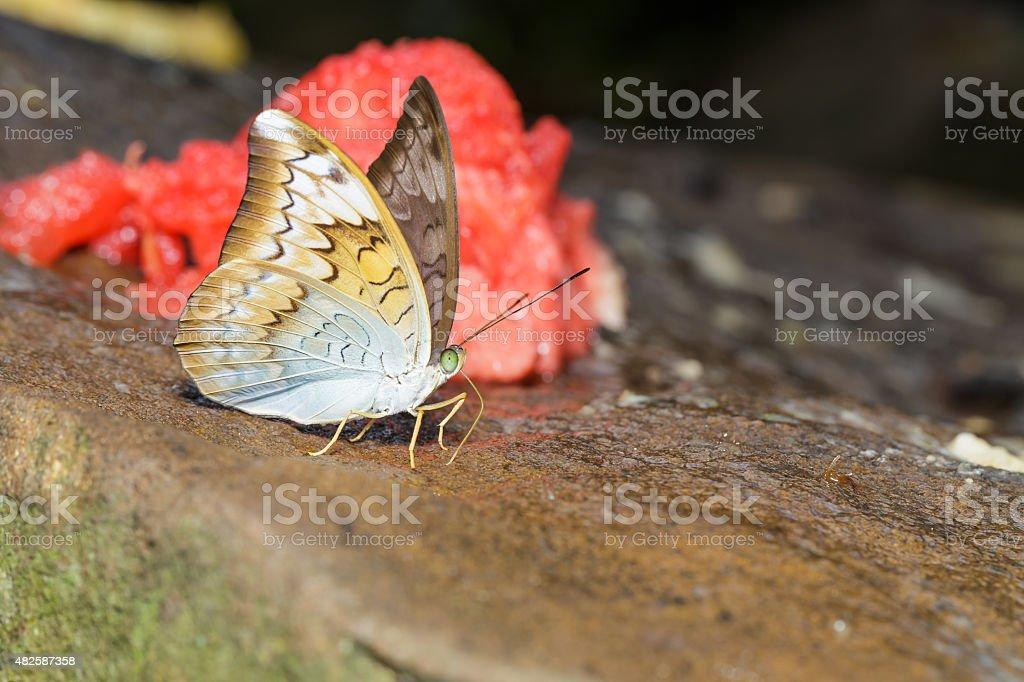 Plain earl butterfly stock photo