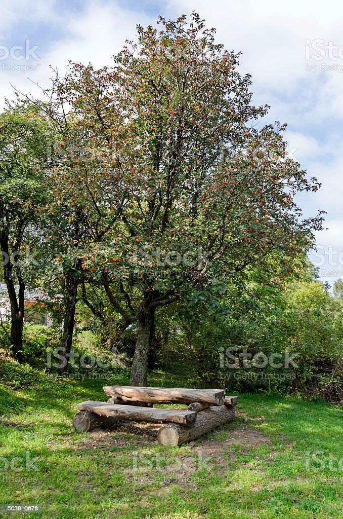 Plain hawthorn (Crataegus monogyna) shrub with fruits stock photo
