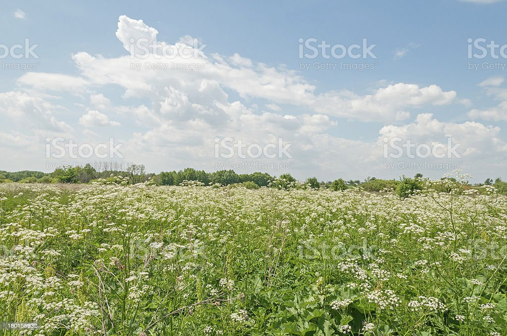 Plain landscape with sunny meadow overgrown by beautiful flowering Chervil royalty-free stock photo