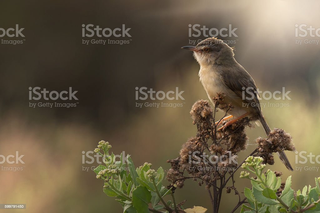 Plain Prinia ( Prinia inornata ) bird in grassland stock photo