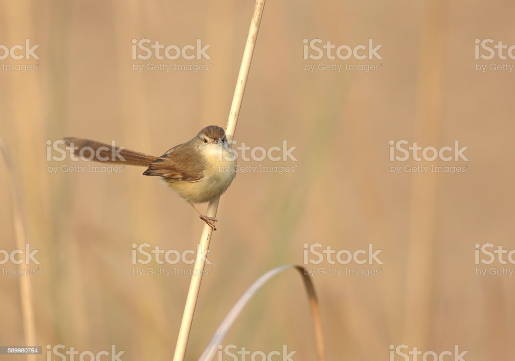 Plain Prinia stock photo