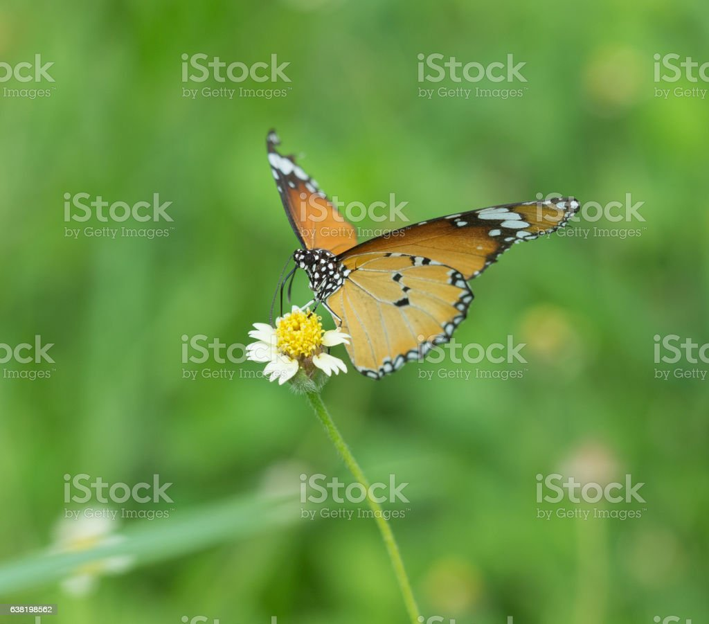 Plain Tiger butterfly (Danaus chrysippus butterfly) on a flower stock photo