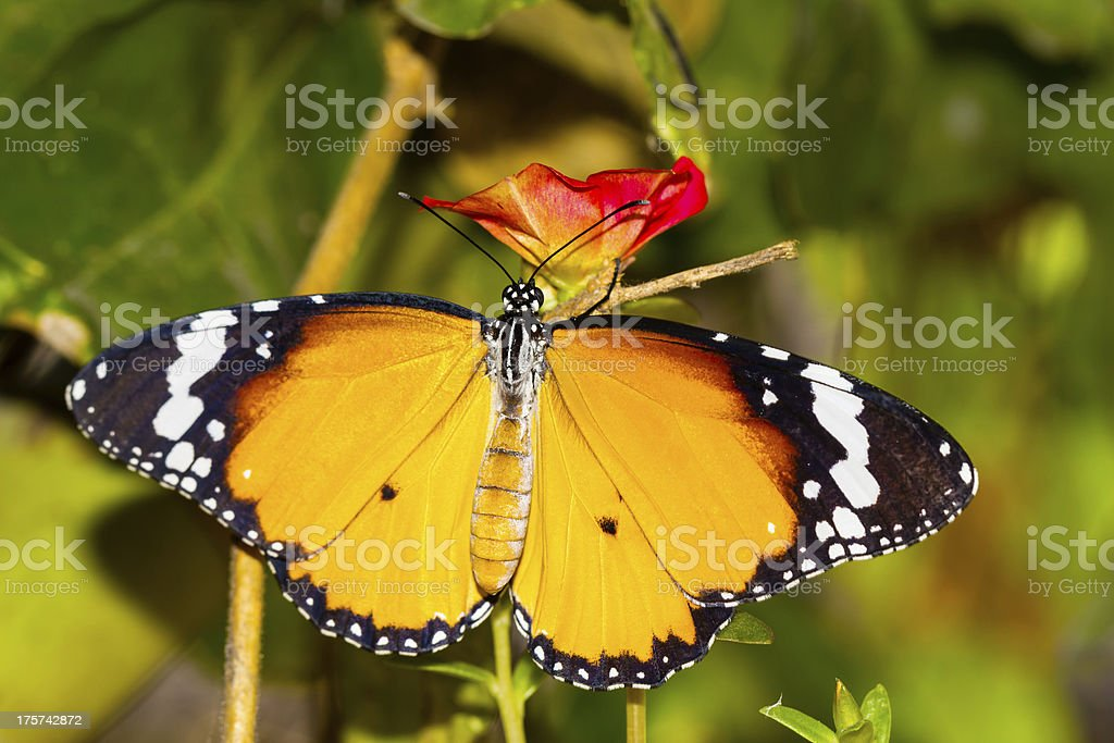 Plain tiger butterfly royalty-free stock photo