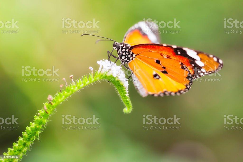 Plain Tiger ( African Monarch ) , Danaus chrysippus royalty-free stock photo